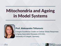 Mitochondria and ageing in model systems