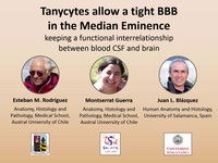 Tanycytes allow a tight BBB in the median eminence